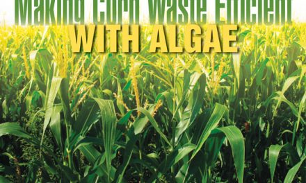 Algae in the waste-to-fuel cycle