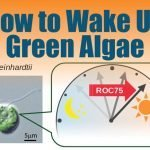"Scientists find how to ""wake up"" green algae"